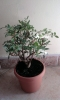 prebonsai pistacia lentiscus 2008 +-